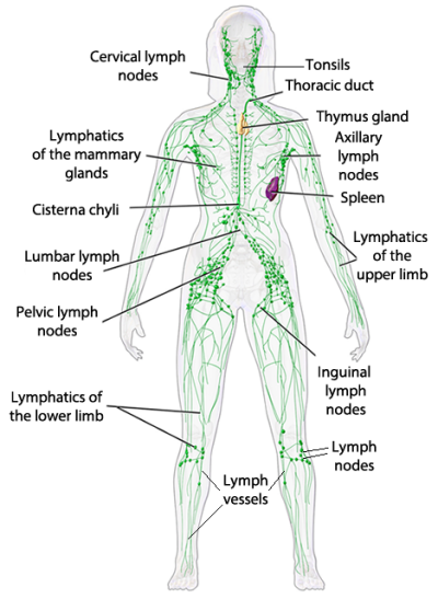 Lymphatic System The Simple Health Advocate